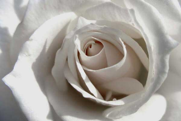 pure-white-rose